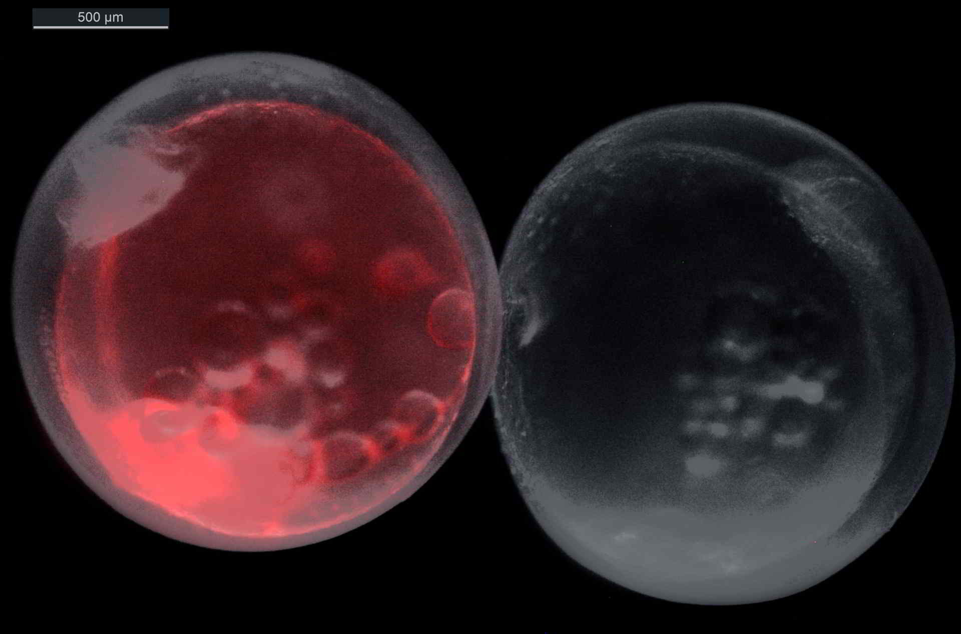 Two stickleback eggs - the left egg is transgenic and glows red under UV light while its sibling is unaffected.