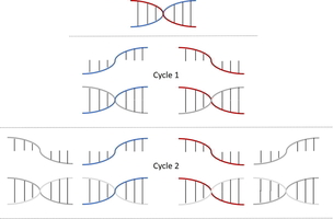 A short stretch of DNA that goes through 2 cycles of amplification ending up with 4 copies.