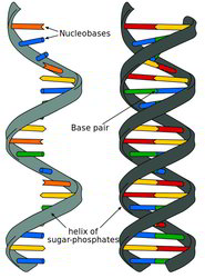 A single-stranded unpaired nucleic acid chain on the left and a double-stranded helix on the right.