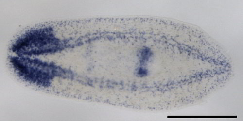 Staining of the brain and nerves in an asexual planarian. The normally brown worm is now clear to allow you to see the labeled locations.